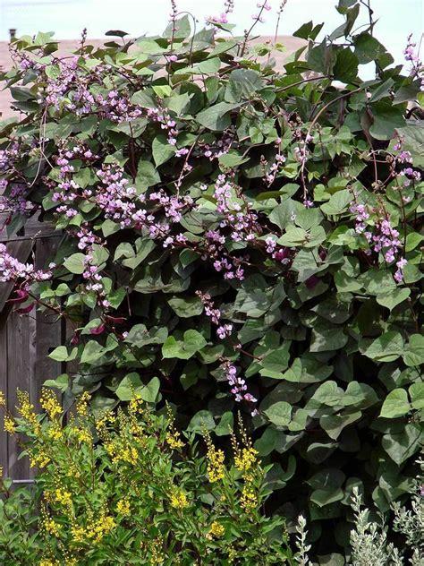 plantfiles pictures hyacinth bean lablab purpureus by kranomo
