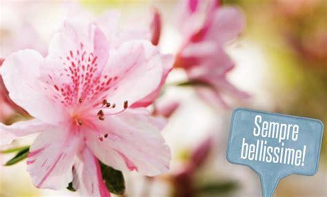 come curare le azalee in vaso azalea in vaso come curare i fiori che vi hanno regalato