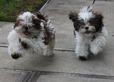 housebreaking a shih tzu shih tzu information things you need to about your shih tzu