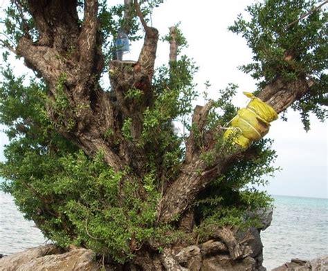 Minyak Kayu Putih Mentah manfaat kayu stigi untuk kesehatan manfaat co id