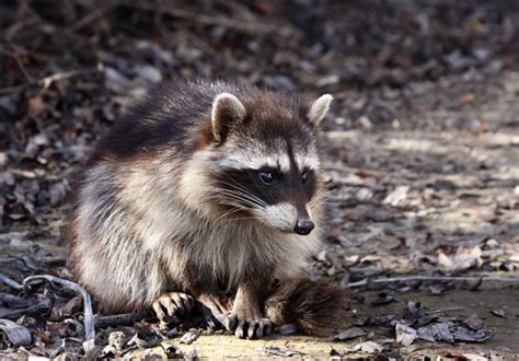 how to get rid of a raccoon in your backyard raccoons archives abc humane wildlife
