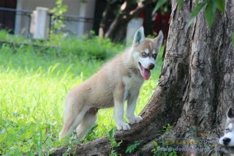 Siberian Husky Jantan dunia anjing jual anjing siberian husky siberian husky
