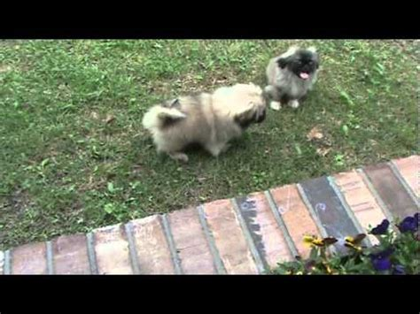 akc pekingese puppies for sale pekingese puppies for sale akc tiny toys