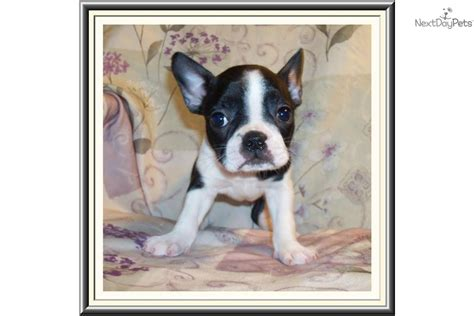 frenchton puppies for sale california frenchton puppies for sale breeds picture