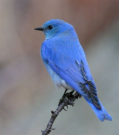 296 best images about bluebirds on pinterest robins