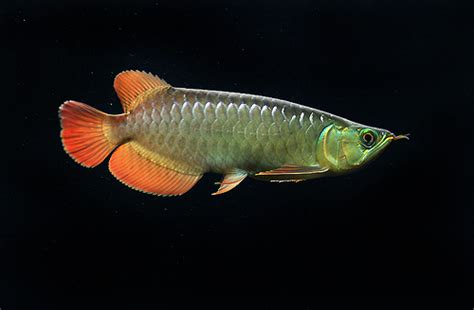 Lu Aquarium Arwana asian arowana i flickr photo