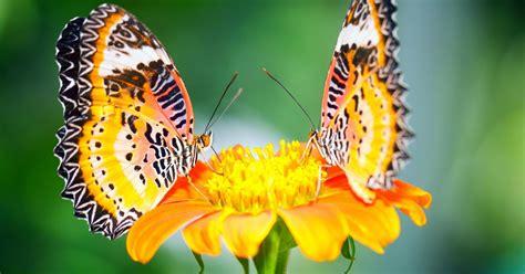 wallpaper kupu kupu cantik