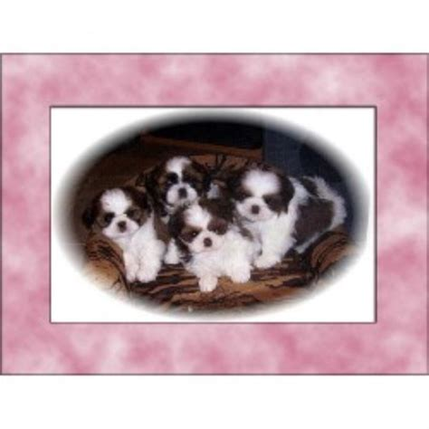 shih tzu breeders in arkansas shih tzu breeders in alberta freedoglistings