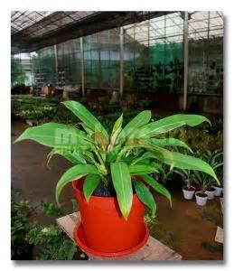 Tanaman Daun Philodendron Katak hikayat beragam jenis philodendron