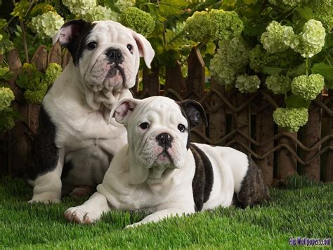 bull puppies pictures top ten picture of dogs pugdogs bull dogs