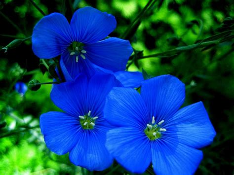 Types Of Blue Flower Names Pictures Blue Flowers For Blue Garden Flower
