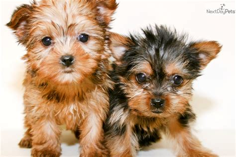 yorkie puppies ohio terrier yorkie puppy for sale near columbus ohio fce2dadf fd11