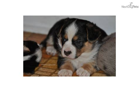 cardigan corgi puppies for sale price cardigan corgi for sale maryland sweater vest