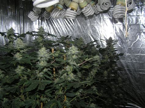 cfl grow light bulbs grow lights for stealth and indoor growing super powerful