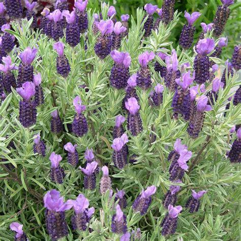 lavender devon compact
