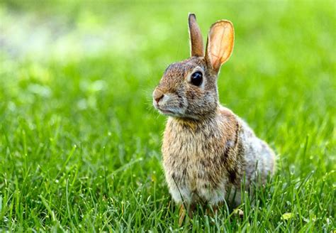 how do i get rid of rabbits in my backyard how to get rid of rabbits bob vila