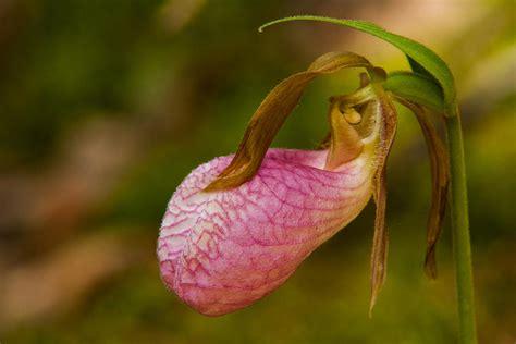 pink slipper orchid pink slipper orchid photograph by matt dobson