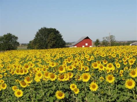 sunflowers in kansas kansas sunflower fields www imgkid com the image kid
