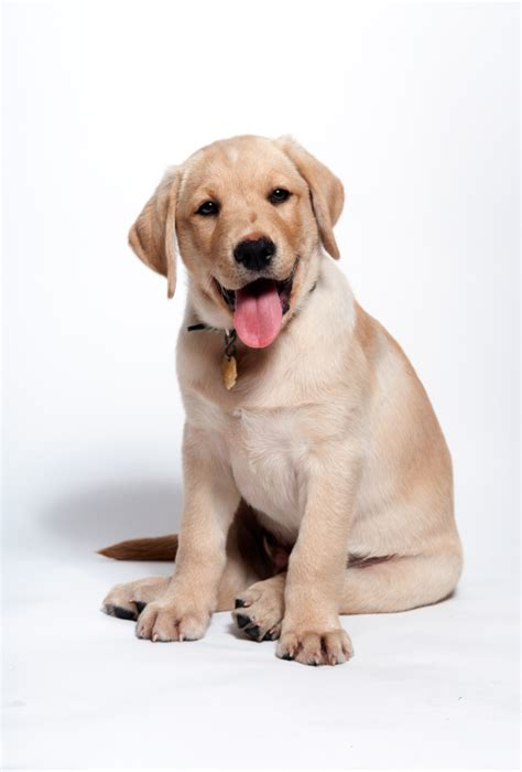 where can i find free puppies in my area image gallery happy yellow lab puppies