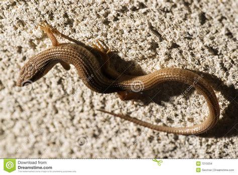 backyard lizards in california backyard lizards in california 28 images california