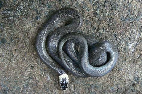 white crowned snake