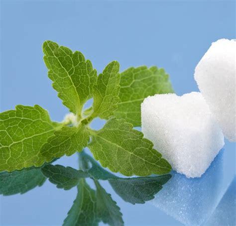 Jual Bibit Pohon Stevia bibit benih daun stevia manis jual tanaman hias