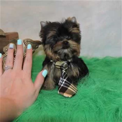 teacup yorkie puppies for sale in virginia available puppies breeds picture