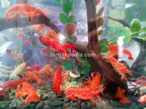 aquascape lobster lobster mini air tawar sebagai penghias aquascape