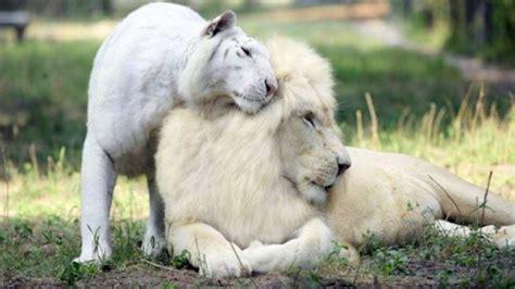 imagenes leon blanco fotos cruzaron un le 243 n blanco con una tigresa blanca y estos son