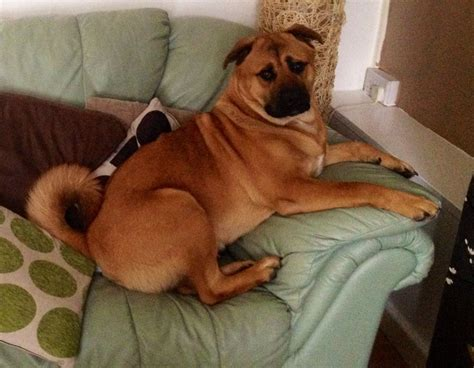 rottweiler akita mix akita mix with rottweiler breeds picture