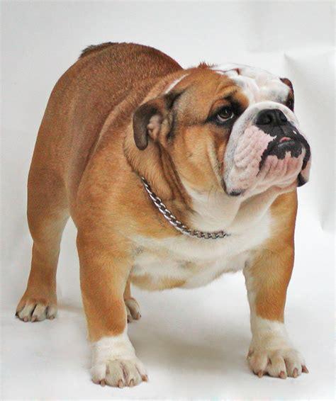 Bulldog - Wikipedia