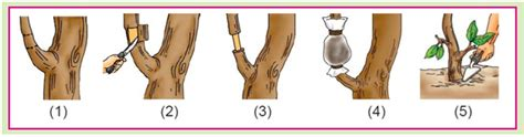 Pisau Untuk Cangkok budidaya bonsai dengan cara cangkok tanamanbonsai
