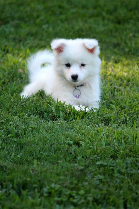 american husky puppy best 25 american eskimo puppy ideas on fluffy breeds doge and