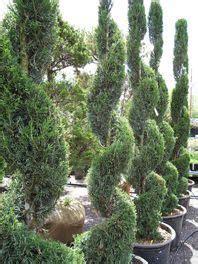 Spiral For All Ht China mint julep juniper spiral juniper juniperus chinensis gardening gardens