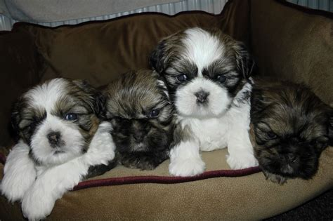 shih tzu imperial for sale reduced imperial shih tzu puppies for sale leeds west pets4homes
