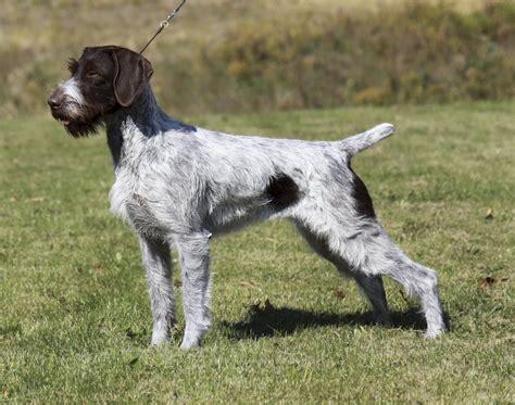 setter pointer dog border collie dog breed information petbreeds autos post