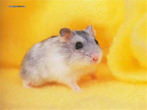 youtube music hamster dance hamster dance song orginal youtube