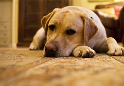 symptoms of cushings in dogs cushings disease breeds picture