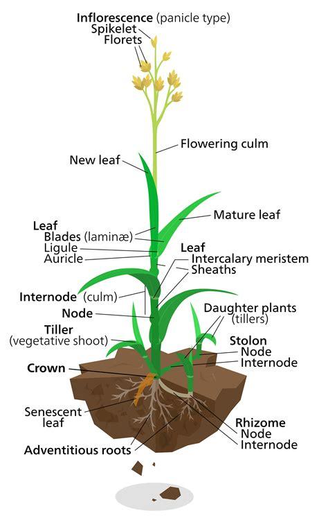 labeled flowering plant diagram plant diagrams diagram site
