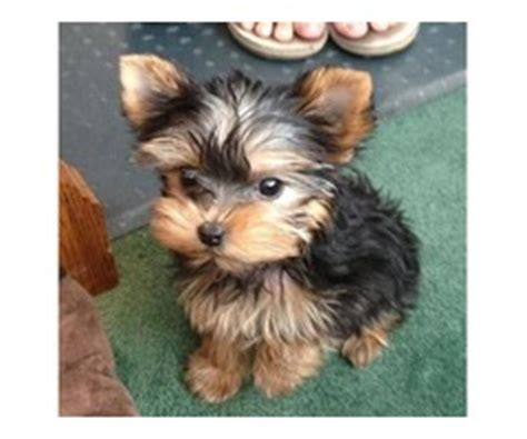 yorkie puppies for sale in peoria il mini teacup pomeranian puppies for adoption 909 296 7704 animals illinois