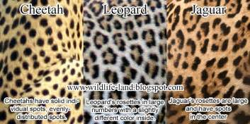 Jaguar Leopard Cheetah Wildlife Photos Coat Difference Cheetah Leopard Jaguar