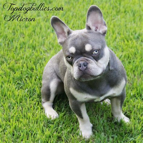 tri color bulldog puppies for sale bulldog puppies for sale colors blue chocolate