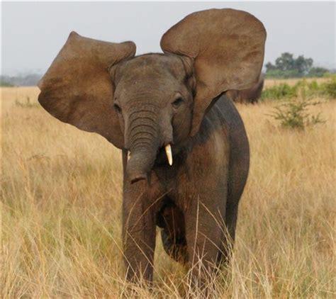 232 adolescent elephant not happy: ronbeau: galleries