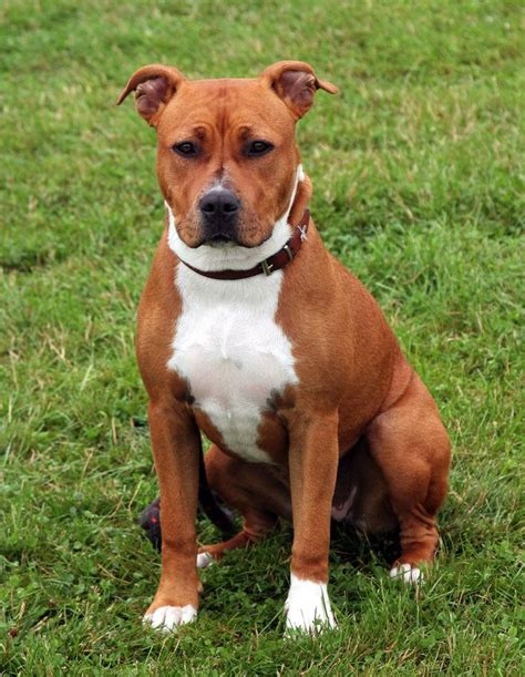 small guard breeds 129 best images about american staffordshire terrier on