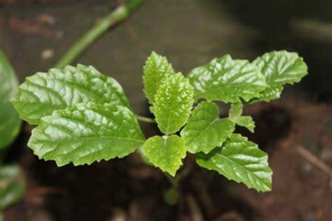 Obat Keji Beling tanaman obat tradisional daun kejibeling