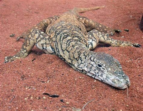 list of reptiles of australia wikipedia