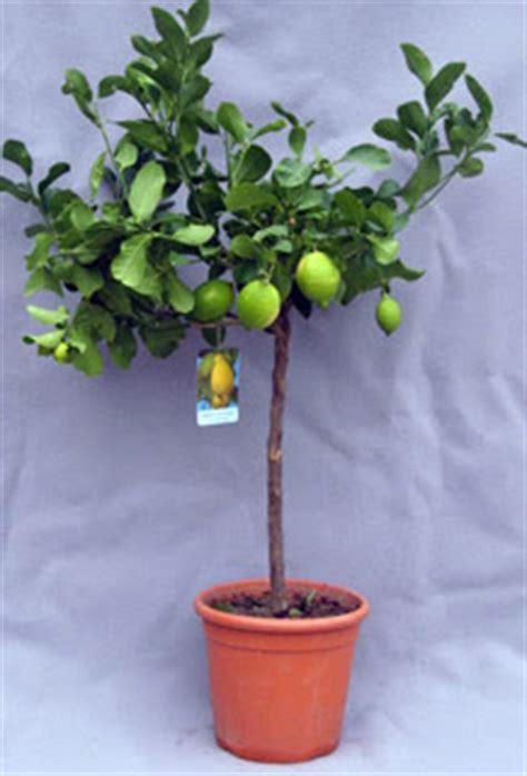 limoni in vaso coltivazione ritaeilgiardinaggio coltivare un limone in vaso