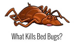 will lysol kill bed bugs what kills bed bugs bed bug treatment site