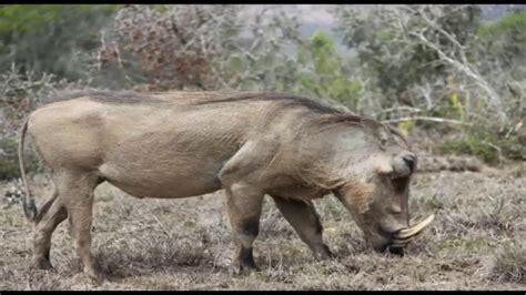 babi terbesar di dunia gambar hewan terganas dunia babi hutan gambar di