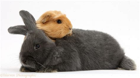 Pets: Guinea pig and bunny photo - WP39401